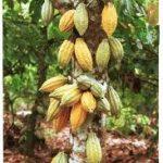Obteniendo el Chocolate del Cacao
